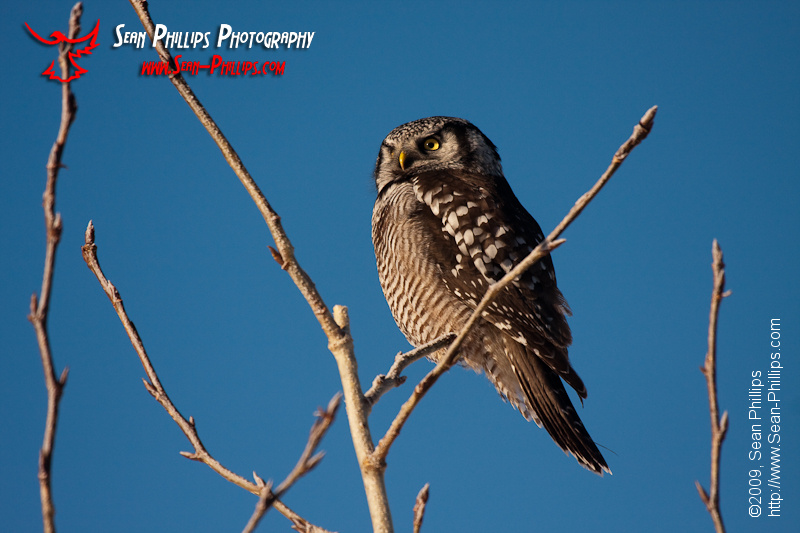 Northern Hawk Owl perching in a tree