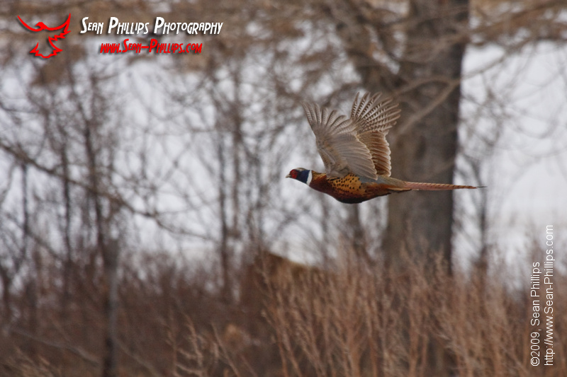 Ring-necked Pheasant in flight