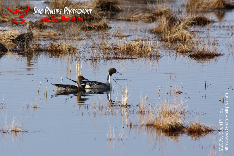 Northern Pintails swimming in a Slough