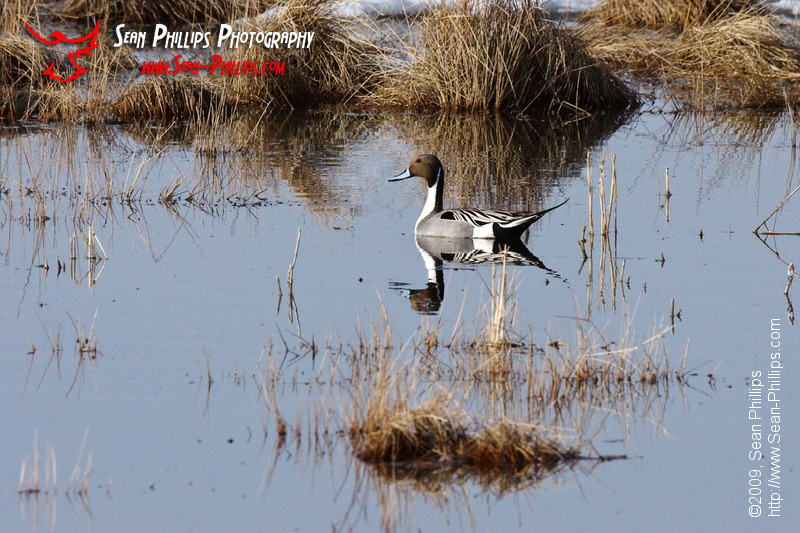 Northern Pintail swimming in a Slough