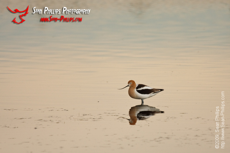 American Avocet standing in still water