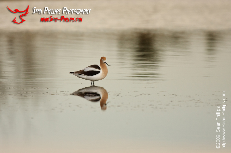 American Avocet standing in the water