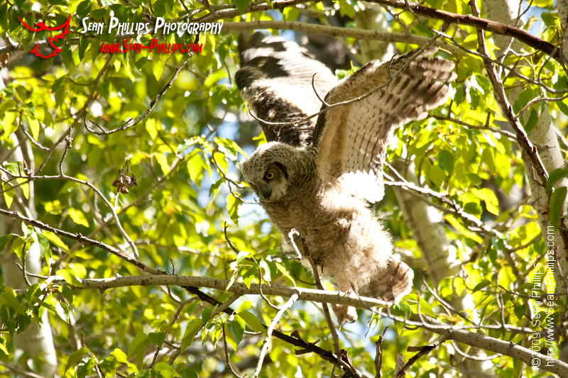 Great Horned Owlet stretching its Wings