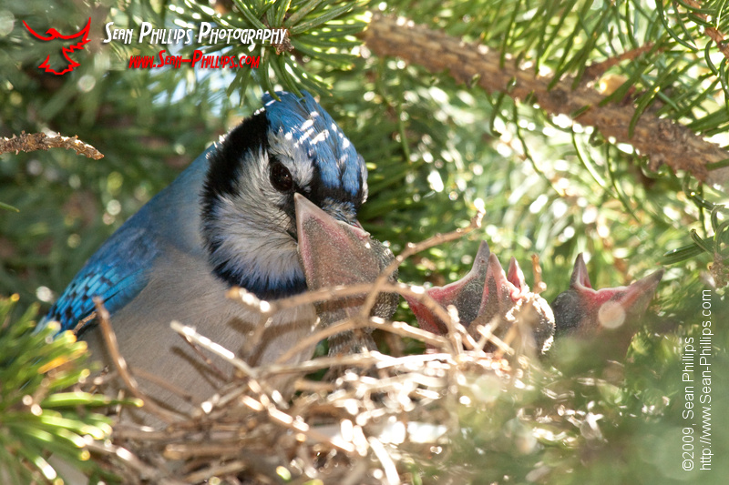 A Bluejay with a mouthful for baby!