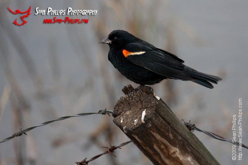 Red-winged Blackbird perched on a fencepost