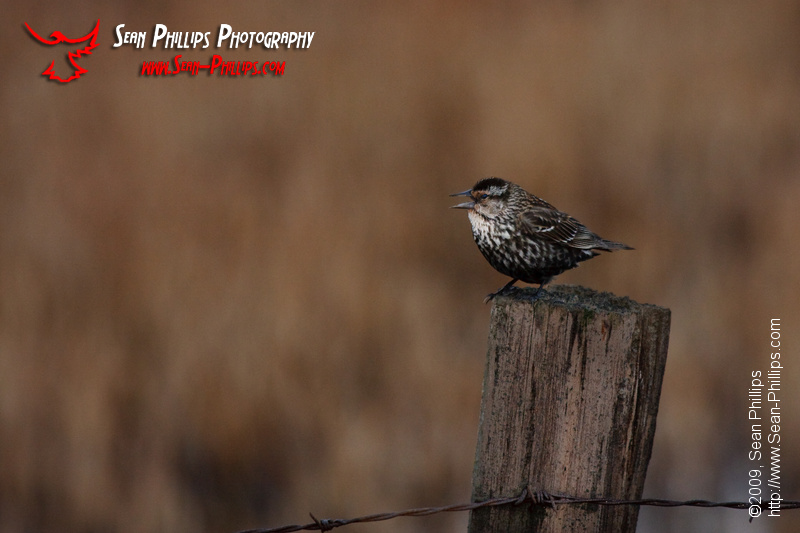 Female Red-winged Blackbird perched on a fencepost