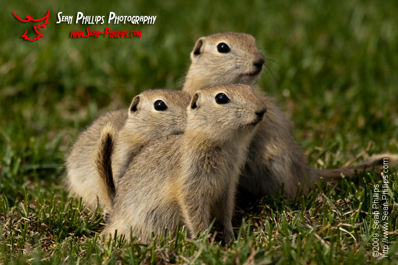 Three Baby Gopher