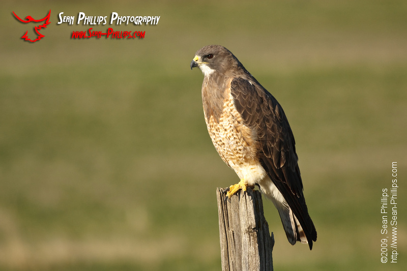 Swainsons Hawk on a Fencepost