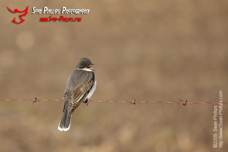 Eastern Kingbird on a barbed wire fence