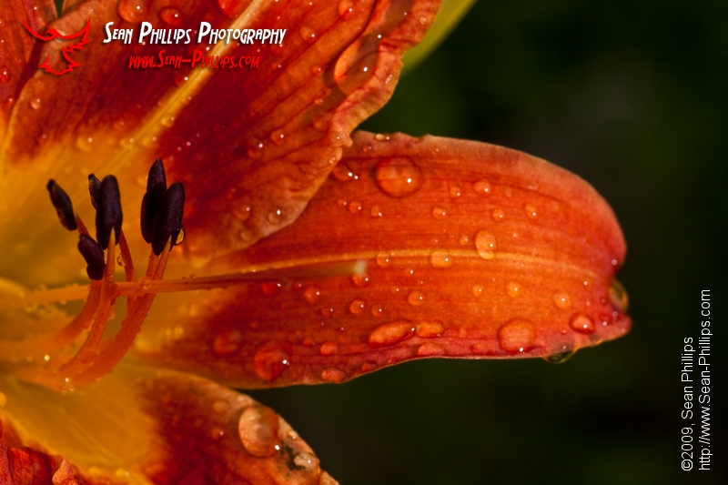 Closeup image of a Common Orange Daylily Flower