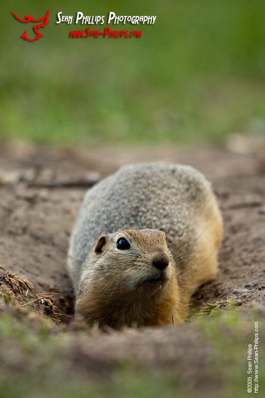 Richardsons Ground Squirrel