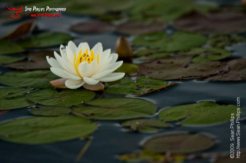 Fragrant Water Lily's on McCarthy Creek in Algonquin Park