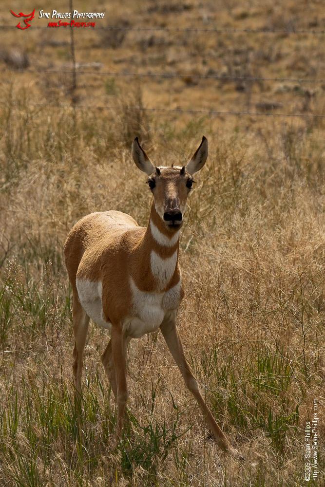 Startled Pronghorn (Antelope) in Rural Montana