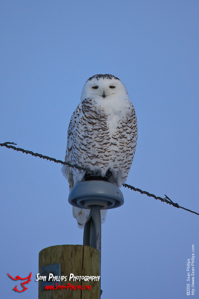Snowy Owl East of Calgary