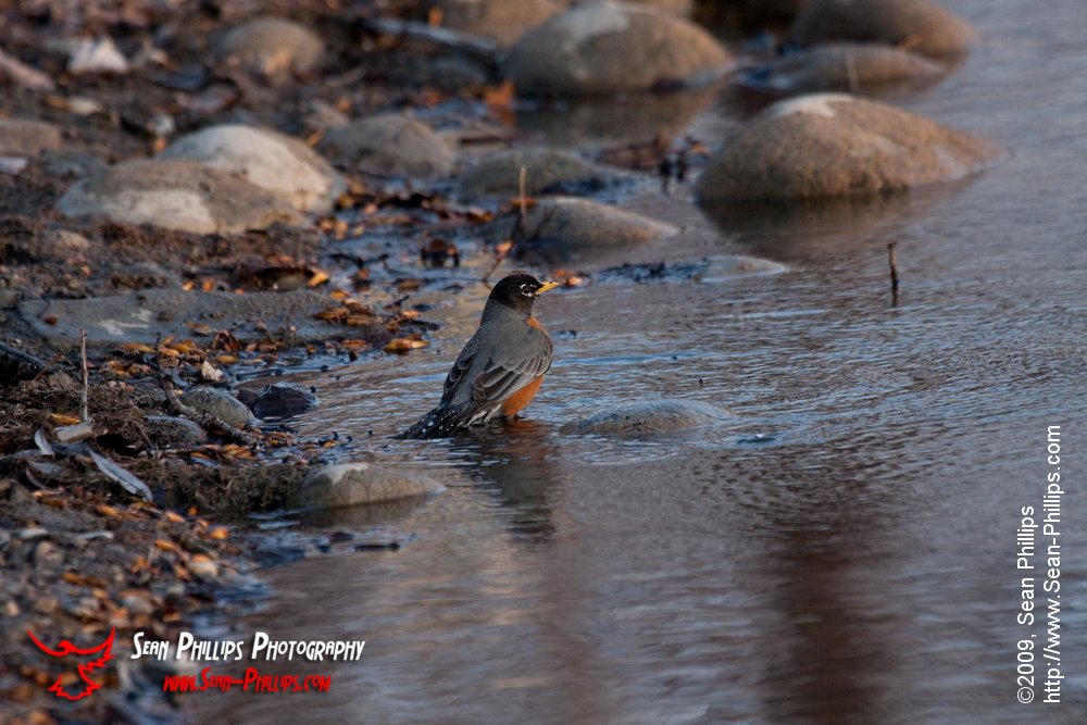 American Robin Having a Bath