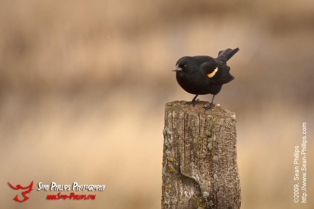 Red-winged Blackbird on a Fencepost