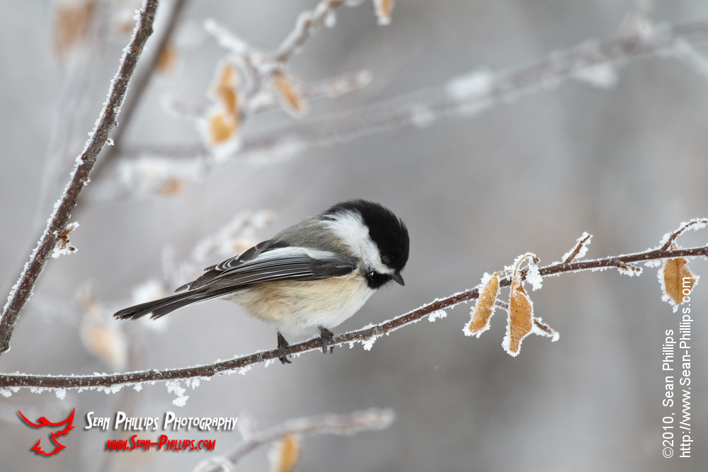 Chickadee at Carburn Park