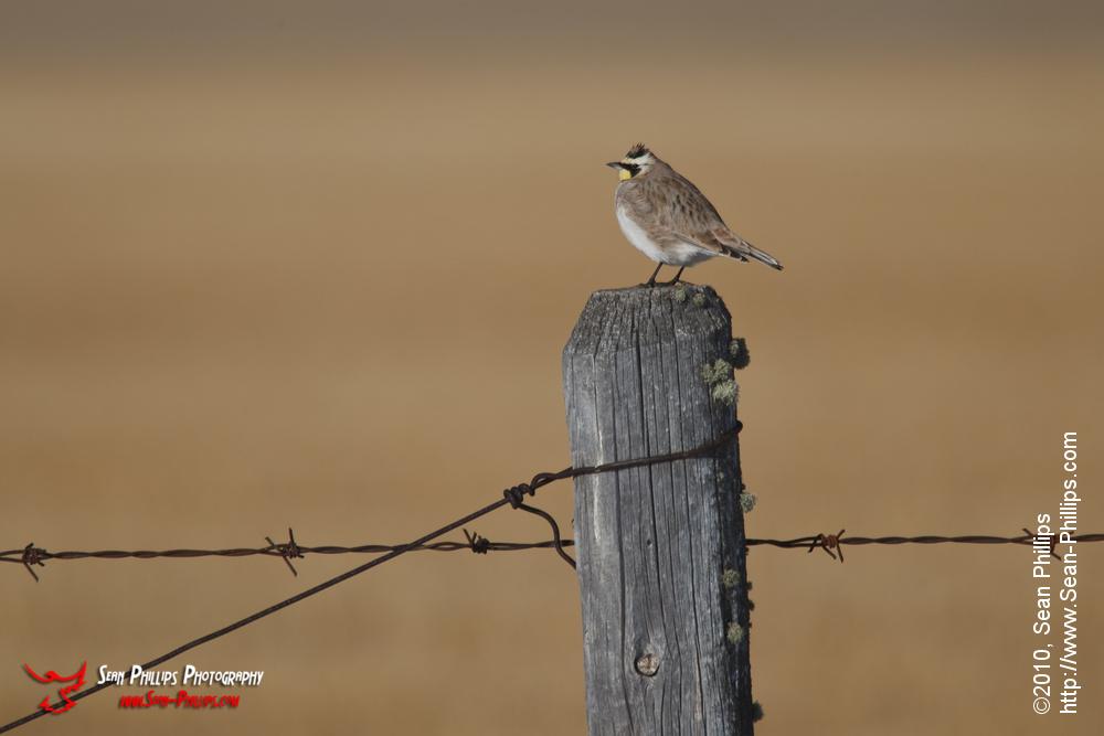 Horned Lark Perching on a Fencepost