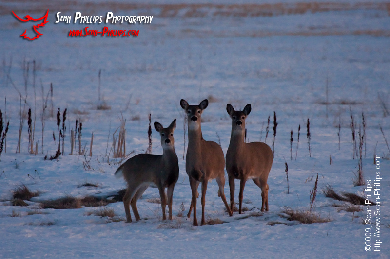 Three very cautious White-tailed Deer