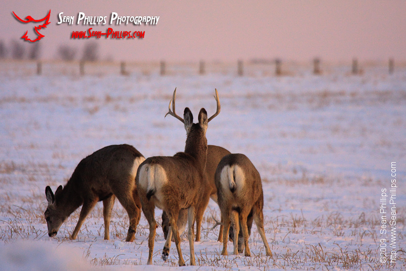 Herd of Mule Deer in winter at sunset