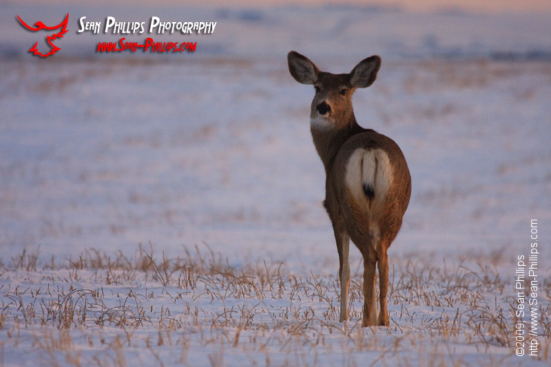Mule Deer in Winter at Sunset