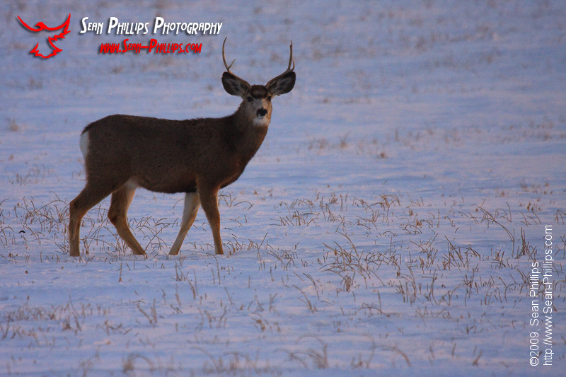 Male Mule Deer in winter at Sunset