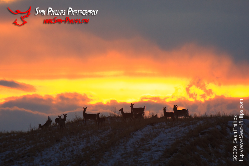 A Herd of White-tailed Deer on a hilltop at sunset