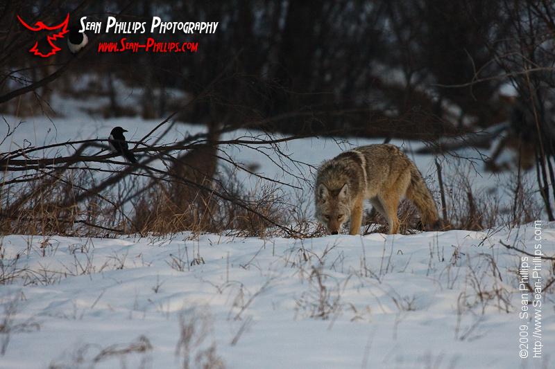 Coyote at Carburn Park