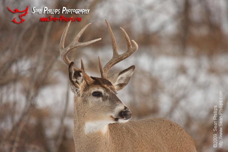 White-tailed Deer at Carburn Park