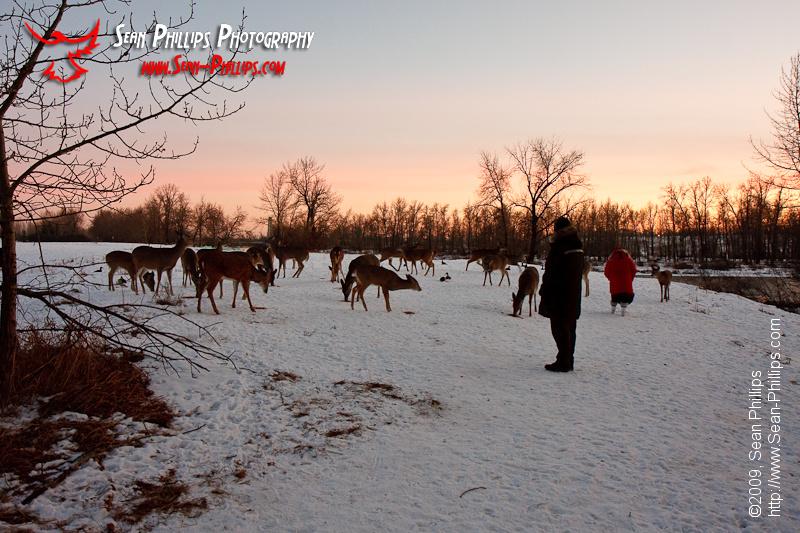 Grain-fed White-tailed Deer at Carburn Park