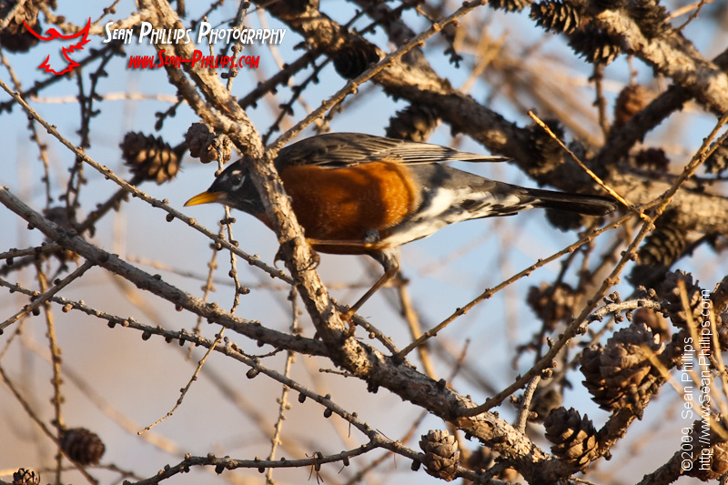 American Robin at Carburn Park