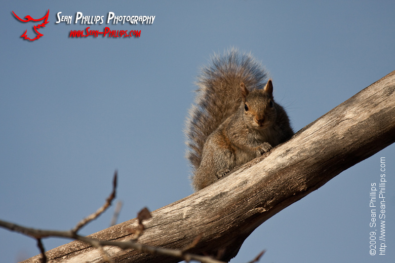 Eastern Gray Squirrel on a branch