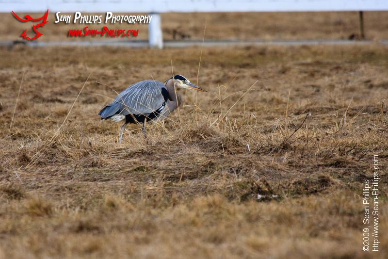 Great Blue Heron hunting in a farm field