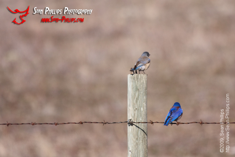 Bluebird Butts