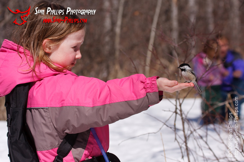 A Black-capped Chickadee perching on Melanie's outstretched hand
