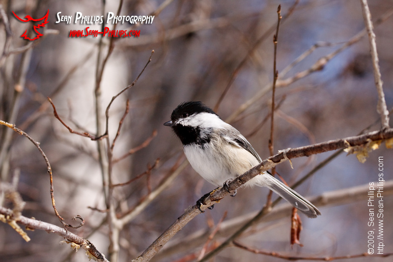 Black-capped Chickadee at Weaselhead