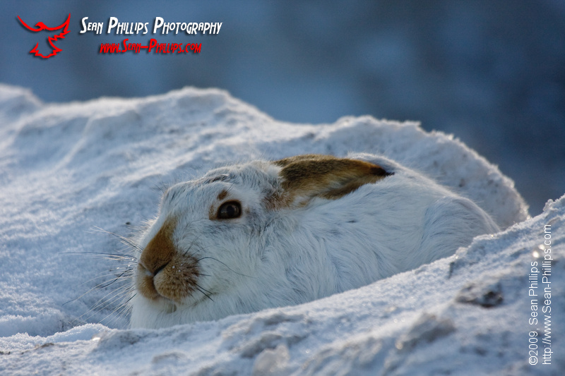 White-tailed Jackrabbit nestled in a bed of snow
