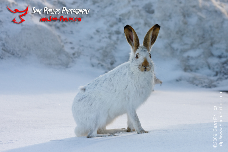 White-tailed Jackrabbit nestled in Winter