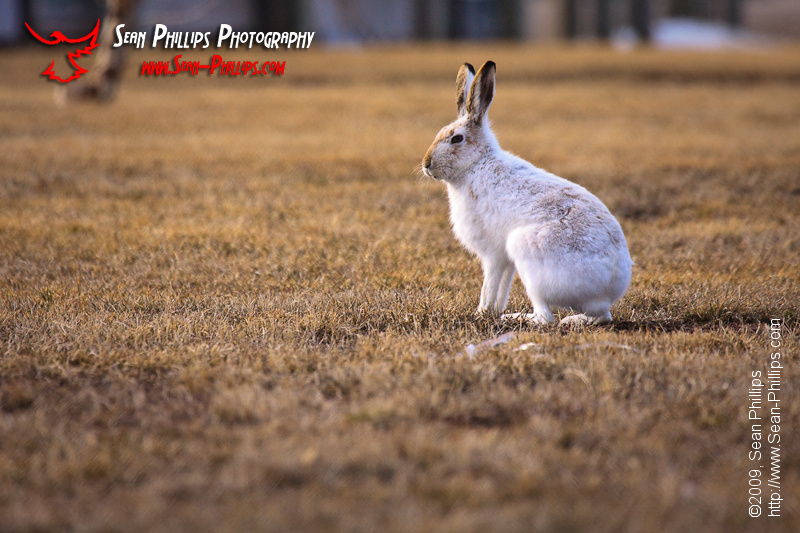 White-tailed Jackrabbit in Spring