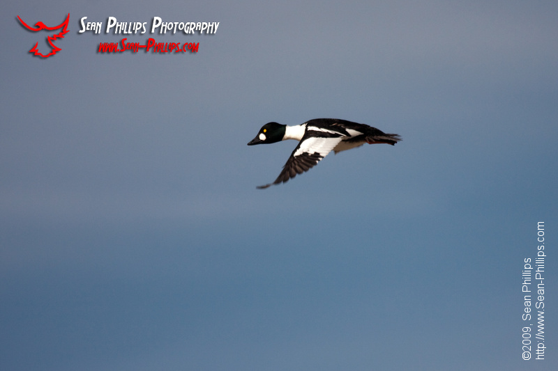 Common Goldeneye in flight