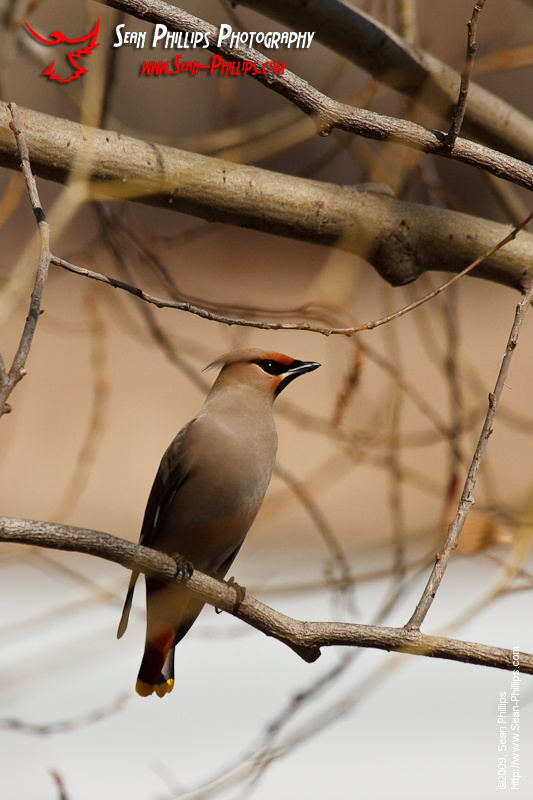 Bohemian Waxwing at Carburn Park