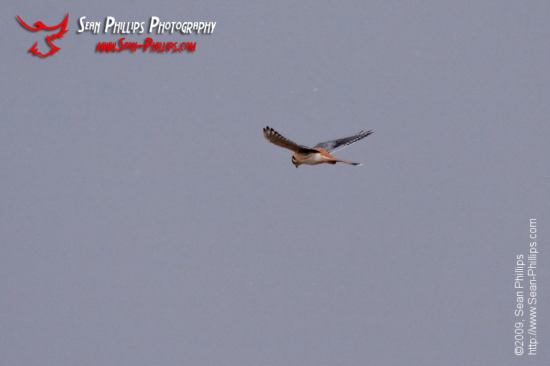 An American Kestrel hovering on a windy day