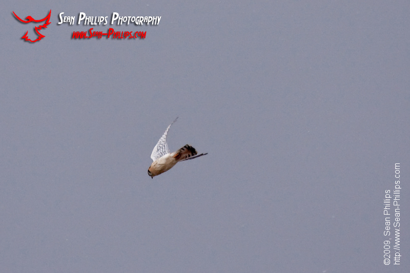 An American Kestrel dives while hunting for a snack