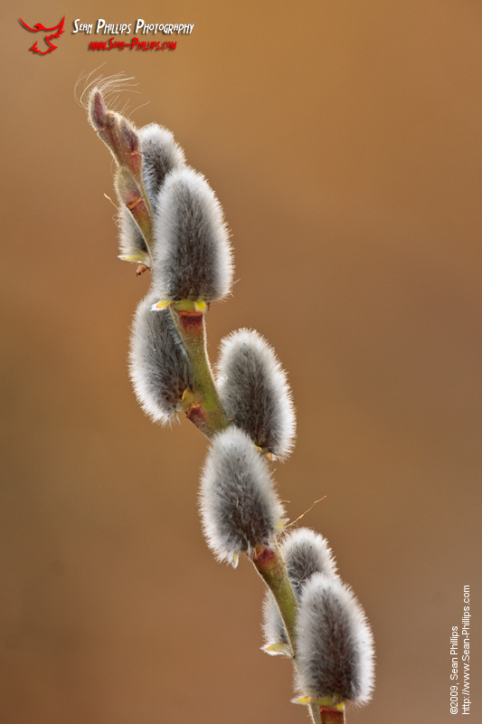 Pussy Willow Catkins in early Spring