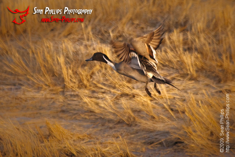 Painterly image of a Northern Pintail in Flight