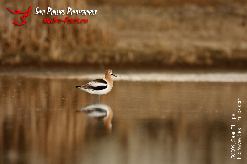 American Avocet walking in a slough