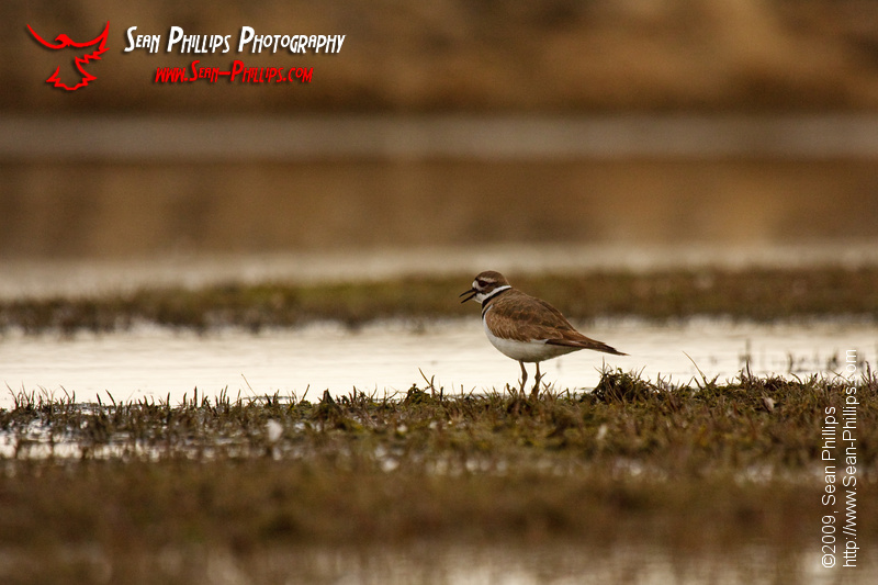 Kildeer standing on the shore of a slough