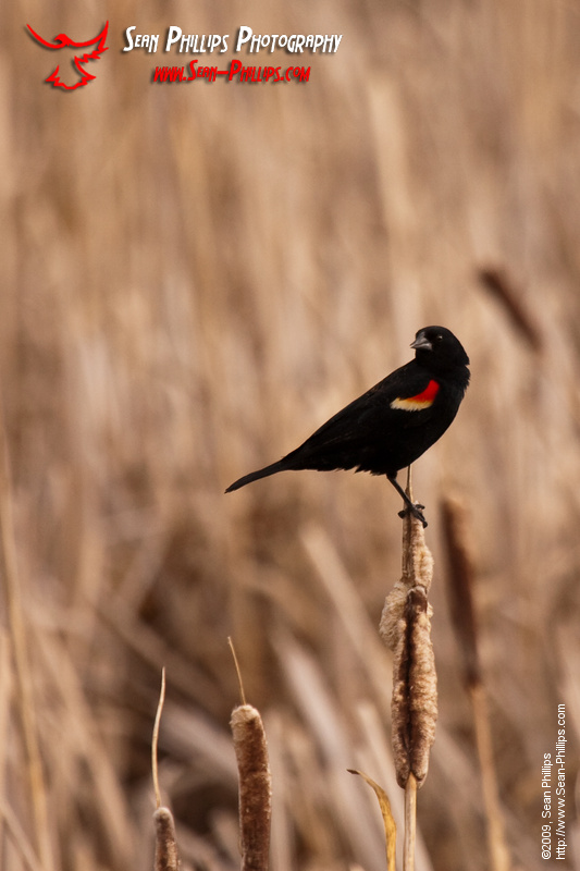 Red-winged Blackbird perched on a Cattail