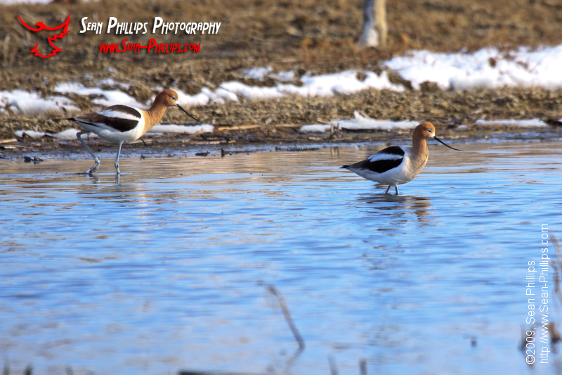 American Avocets with Spring Snow
