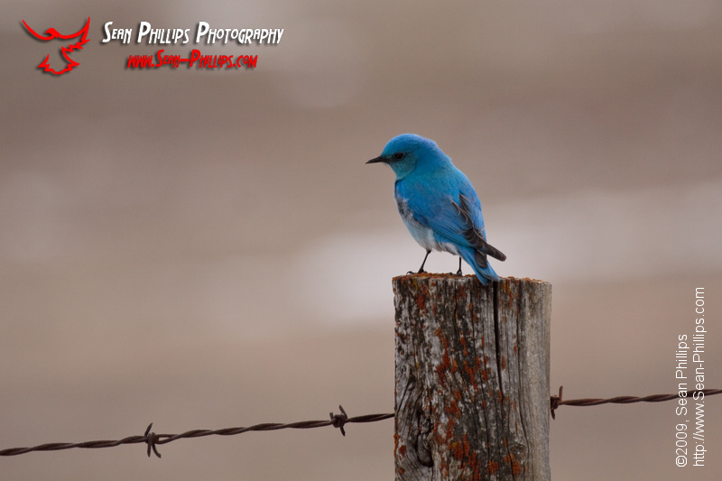 Male Mountain Bluebird perched on a Fencepost